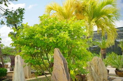 Yellow mutation and Bromeliads (ไม้สีเหลืองและสับปะรดสี)