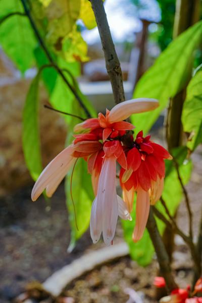Calycacanthus magnusianus (คาลิคาแคนทัส แมกนูเซียนัส)