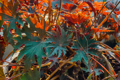 Begonia cv. Cleopatra (บีโคเนีย ซีวี คลีโอพัตรา)
