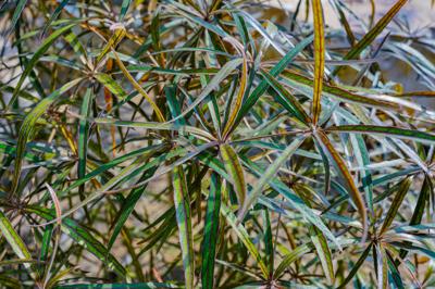 Terminalia bentzoe (เตอร์มีนาเลีย เบนท์โซว์)