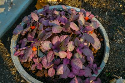 Episcia cv. Strawberry Patch (อีพิสเซีย ซีวี สตรอวเบอรี แพ๊ทช์ )