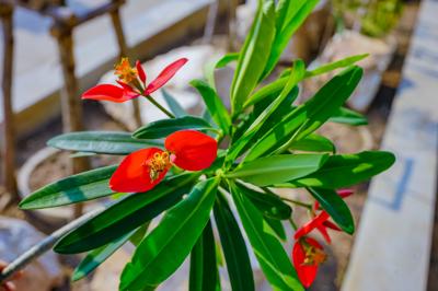 Euphorbia punicea (อียูโฟร์เบีย ปูนีเซีย)