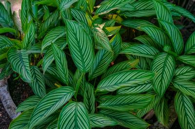 Calathea ornata (คาลาเทีย โอร์เน็ต)