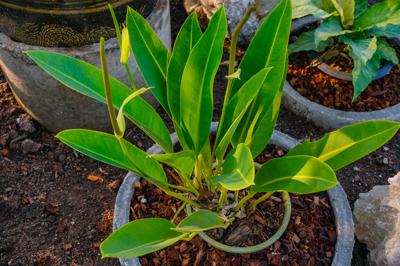 Anthurium willdenowii (แอนทูเรียม วีลดีโนวี)