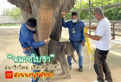 ปางช้างลูกดก!!! แม่ช้างสวนนงนุชพัทยา คลอดลูกเชือกที่ 100