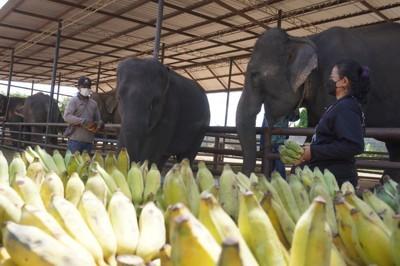 """ลูกค้าทำบุญ เนื่องใน """"วันแม่แห่งชาติ"""" บริจาคเงินซื้อกล้วยให้แม่ช้าง ที่ ปางช้างสวนนงนุชพัทยา"""