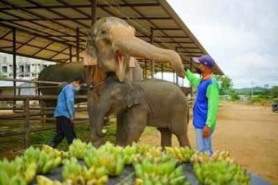 """ลูกค้าใจบุญ ซื้อกล้วยให้แม่ช้าง ที่ปางช้างสวนนงนุชพัทยา เนื่องในโอกาส""""วันแม่แห่งชาติ"""""""