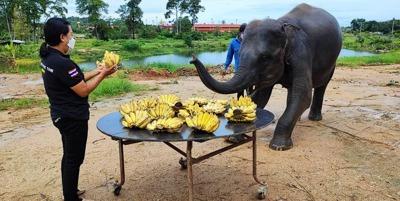 """ลูกค้าใจบุญ ร่วมสมทบทุน ซื้อกล้วยให้ ช้างตั้งครรภ์ """"พังรัฐธรรมนูญ"""""""
