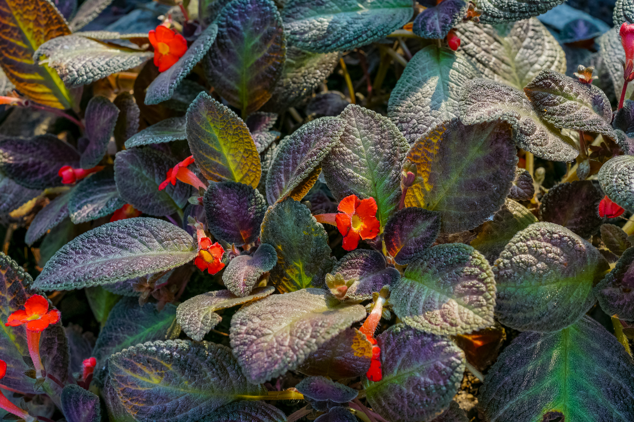 Begonia  (บีโกเนีย) และEpisia (พรมญี่ปุ่น)