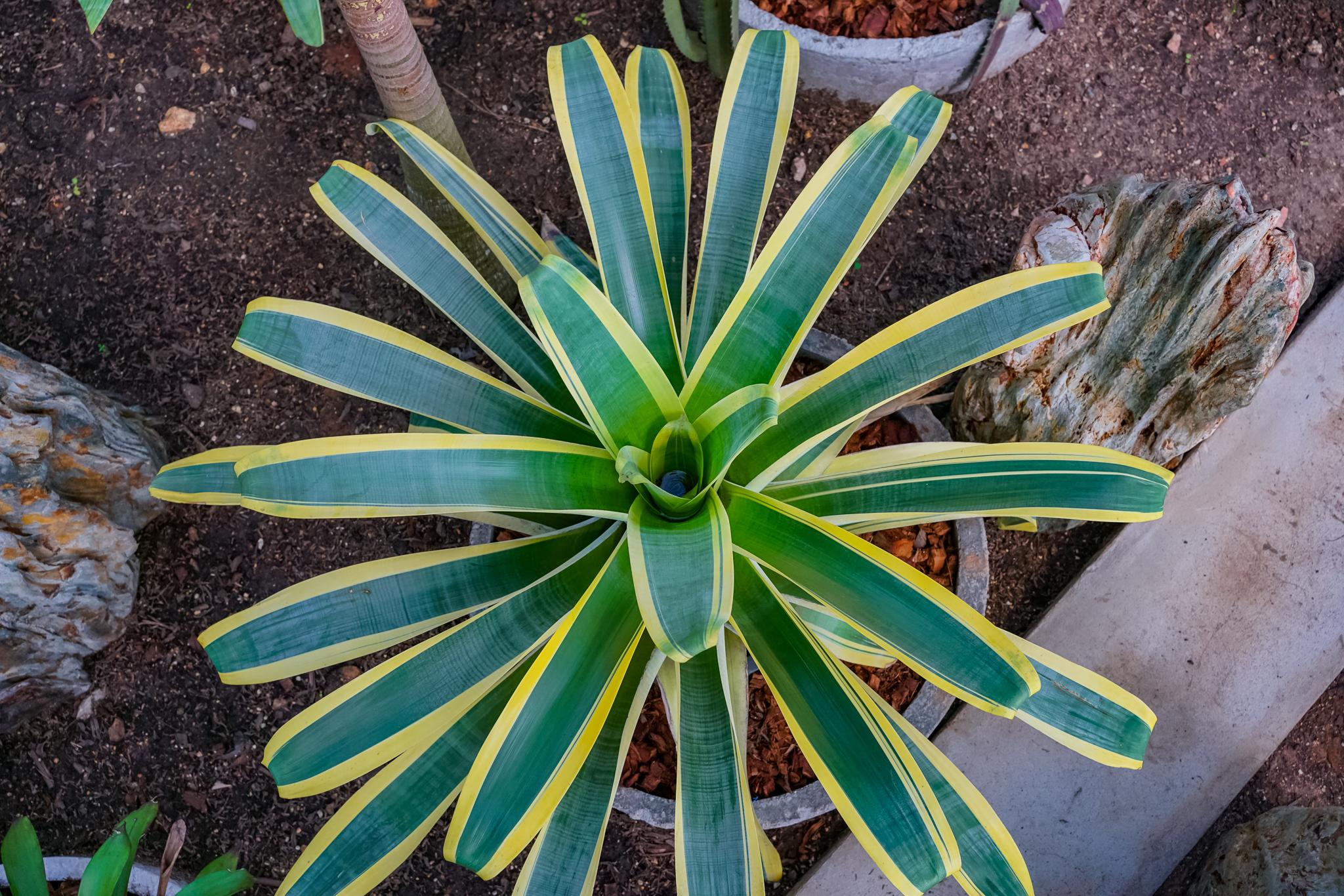 Bromeliads (สับปะรดสี)