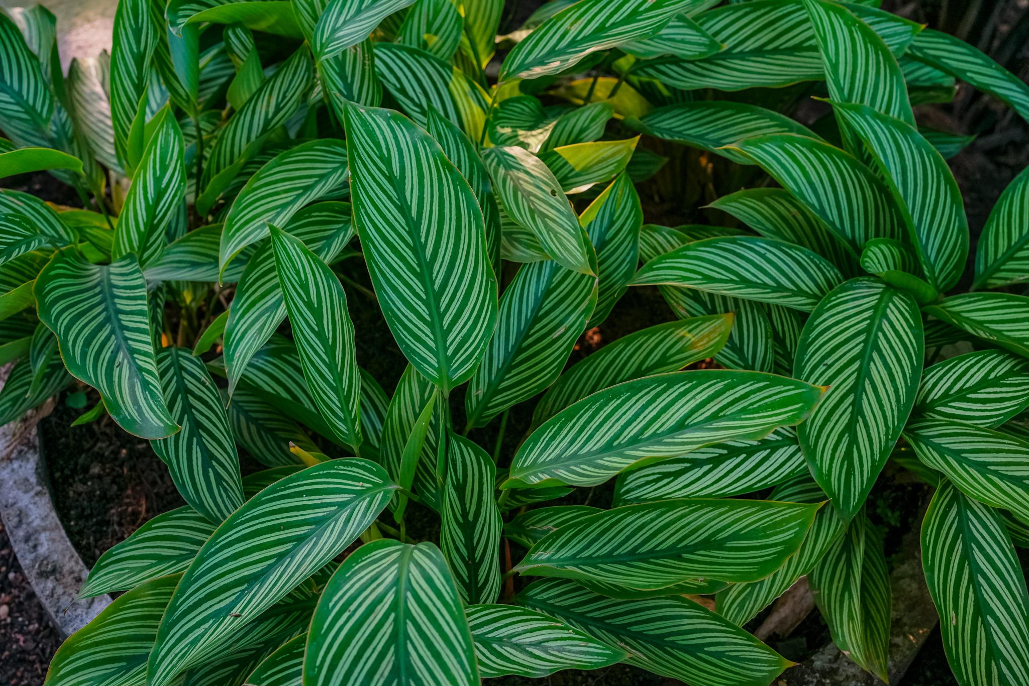 Marantaceae (คล้า)