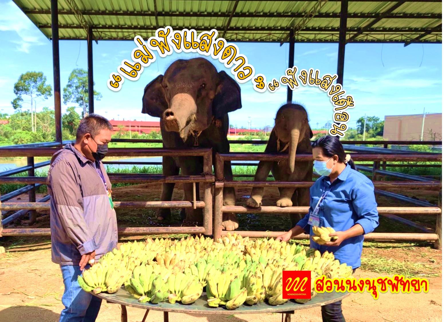 """สวนนงนุชพัทยา ซื้อกล้วยให้ลูกช้าง """"พังแสงเดือน"""" และ """"พังทรายแก้ว"""" ตามความประสงค์ของลูกค้าที่บริจาคเงินสมทบเป็นค่าอาหาร"""