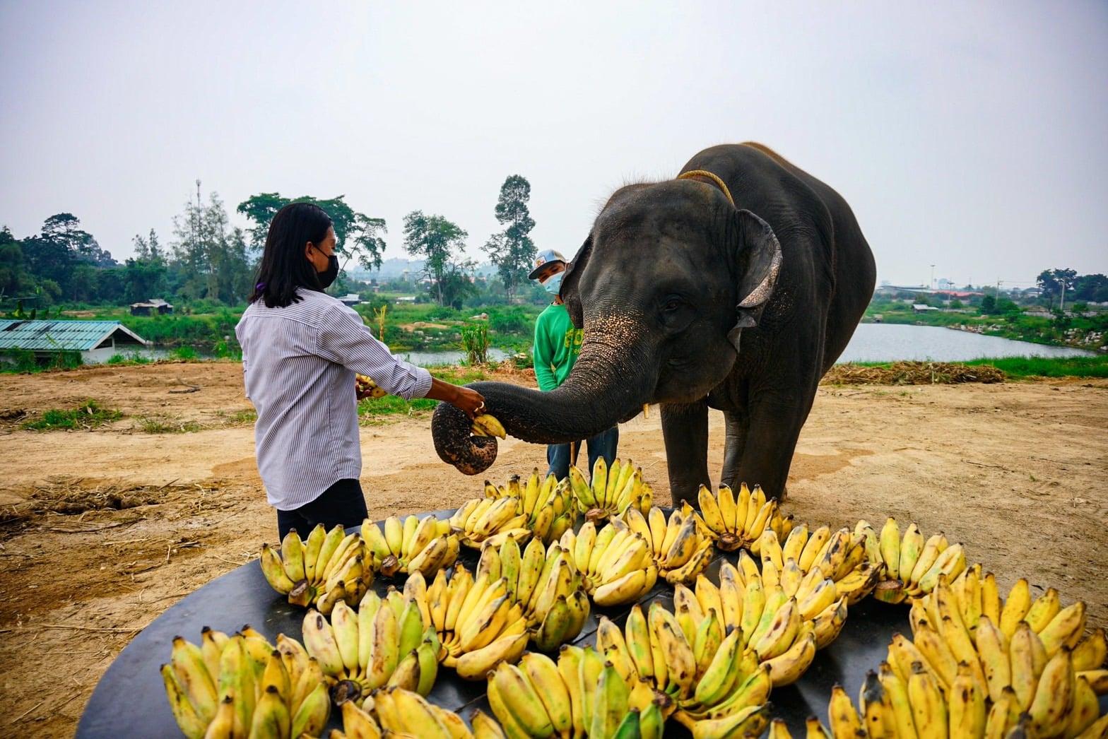 """ลูกค้าใจบุญ สมทบทุน ซื้อกล้วยให้ ช้างตั้งครรภ์ """"พังกอหญ้า"""